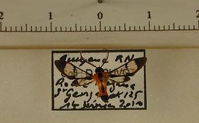 Loxophlebia cinctata mâle