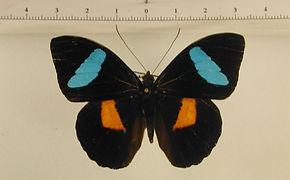 Nessaea batesii magniplaga mâle