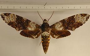 Manduca albiplaga albiplaga mâle