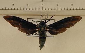 Pseudopompilia mimica mâle