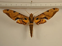 Protambulyx eurycles mâle