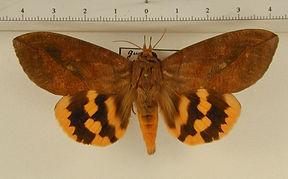 Eudocima procus mâle
