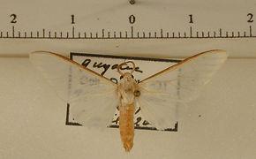 Robinsonia praphaea mâle