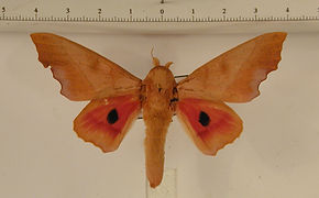 Syssphinx molina mâle