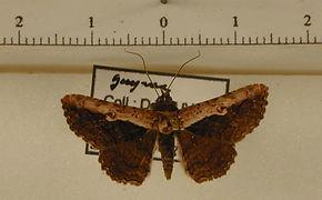 Selenisa suero mâle