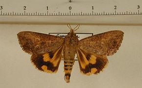 Hypocala andremona mâle