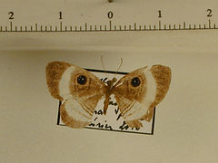 Mesosemia sp. mâle