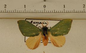 Rosema minor mâle