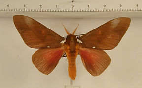Schausiella subochreata mâle
