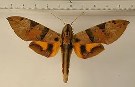 Eumorpha capronnieri mâle