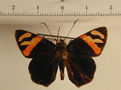 Entheus priassus priassus mâle