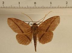 Triommatodes sp. mâle