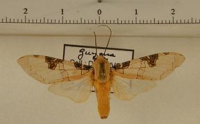 Halysidota interlineata mâle