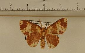 Semaeopus commaculata mâle
