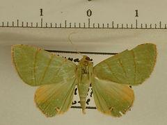 Eulepidotis schedoglauca mâle