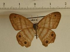 Euptychia westwoodi mulli mâle