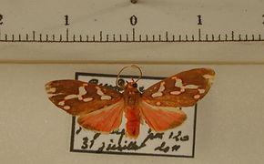 Haemanota maculata mâle