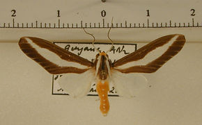 Robinsonia klagesi mâle