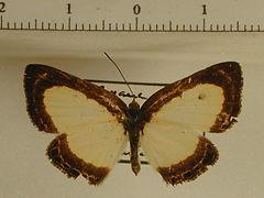 Nymphidium sp1 mâle