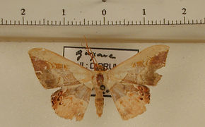 Semaeopus subtincta mâle
