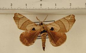 Apatelodes firmiana mâle