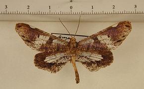 Macrosoma hyacinthina mâle