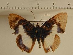 Thisbe irenea mâle