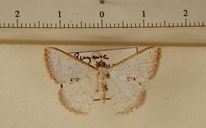 Berberodes conchylata mâle