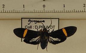 Aclytia gynamorpha mâle