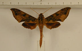 Xylophanes fusimacula mâle