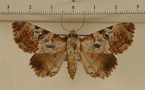 Orodesma cladonia mâle