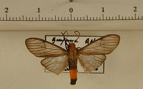 Atyphopsis modesta mâle