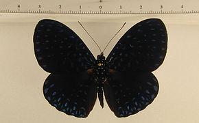 Hamadryas velutina velutina mâle
