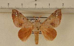Apatelodes anna mâle