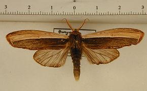 Lirimiris pennipenis mâle
