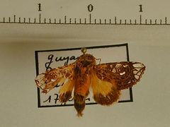 Argyrosticta ditissima mâle