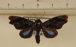 Vespola caeruleifera mâle