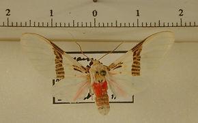 Idalus albescens femelle
