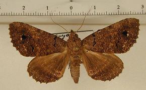 Pseudbarydia crespula mâle