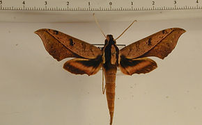 Xylophanes epaphus mâle