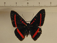 Amarynthis meneria mâle