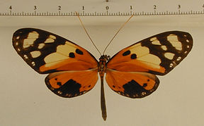 Melinaea ludovica ludovica mâle