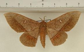 Cicinnus conlani femelle