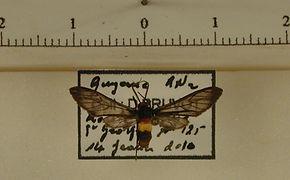Pseudomya picta mâle