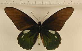 Battus lycidas mâle