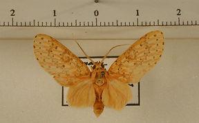 Eriostepa fulvescens mâle