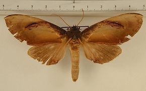 Crinodes bellatrix femelle