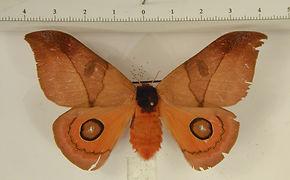 Automeris lenarti femelle