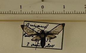 Heterodontia attenuata mâle
