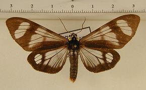 Dysschema tricolor tricolor mâle